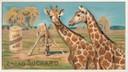 Giraffe in un'immagine in mostra al Museo della Figurina