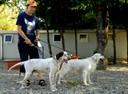 Due cani di razza setter ospitati nel canile pronti per essere adottati in coppia