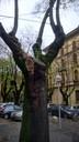 Un'immagine dell'albero malato in largo Garibaldi