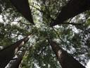 I taxodium del parco di villa Ombrosa