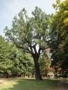 La quercia ai Giardini ducali