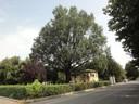 La quercia di via del Luzzo