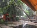 il platano sradicato nel cortile della scuola Saluzzo