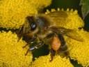 Terramara api e uomo ape.jpg