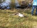 Parco Ferrari, il pesce siluro di due metri recuperato dal laghetto