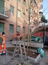 via De' Fogliani, la messa a dimora dei nuovi alberi